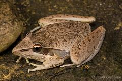 Watjulum Rocket Frog (Litoria watjulumensis) (JLoyacano) Tags: australia frog jacobloyacano litoriawatjulumensis wa watjulumrocketfrog westernaustralia bunglebungle herp herping litoria purnululunationalpark rocketfrog