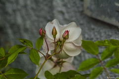 LE ROSE SU UN MURO    ----    ROSES ON THE WALL (cune1) Tags: italia italy lazio canalemonterano fiori flowers rose roses colori colors macro