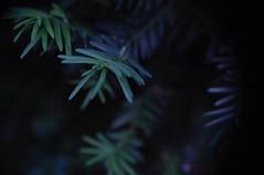 Poisonous - Toxique (fred_v) Tags: macromondays if poisonous yew