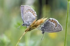 Two (Xtraphoto) Tags: morgentau morning tautropfen tau butterfly duo zuzweit two zwei schmetterlinge schmetterling