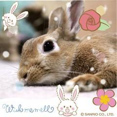 ICHIGO san 27 (Ichigo Miyama) Tags: いちごさん。うさぎ ichigo san rabbit うさぎ netherlanddwarfbunny netherlanddwarf brown ネザーランドドワーフ ペット いちご