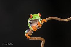Red-eyed tree frog D50_8135.jpg (Mobile Lynn) Tags: amphibian frog nature redeyetreefrog captive agalychniscallidryas fauna wildlife bournemouth england unitedkingdom gb coth specanimal coth5 ngc sunrays5 npc