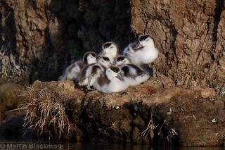 Shelduck Ducklings 80466