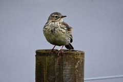 Meadow Pipit. (jimbrownrosyth) Tags: