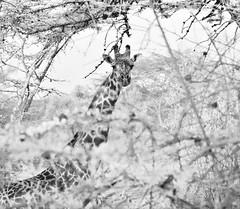 The Bush As in a Dream (The Spirit of the World) Tags: giraffe bush animal kenya lakenakuru safari gamedrive gamereserve nature wildlife eastafrica africa monochrome bw