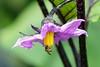 ナスの花に小さな蜂