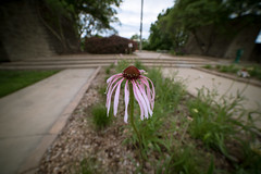 lone cone (severalsnakes) Tags: kansas pentax rokinon1428 saraspaedy shawnee shawneemissionpark coneflower flower k1 manualfocus
