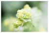Lady's mantle (leo.roos) Tags: green groen vrouwenmantel ladysmantle alchemilla raindrops regendruppels a7rii meyeroreston5018 zebra m42 1965 darosa leoroos