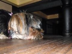 Flo Yorkie Poo Dog Resting in Mill Street Pub and Kitchen Oakham Rutland (@oakhamuk) Tags: flo yorkiepoo dog resting millstreetpubandkitchen oakham rutland