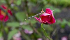 Dragonfly (Simon Caunt) Tags: nikond800 nikoncameras northyorkshire castlehoward afsnikkor2470mmf28 yorkshire flowers flowershow flora floraandfauna dragonfly rose red