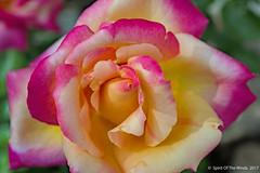 "The Rose (jimgspokane) Tags: roses flowers duncangarden rosehill manitopark spokanewashingtonstate naturewatcher ""nikonflickraward"""