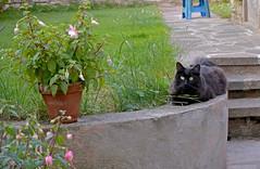 Happy Caturday! (Caulker) Tags: cat fuchsia garden flowers