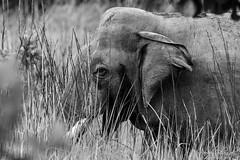 Tusker behind the Grass (PB2_1529) (Param-Roving-Photog) Tags: elephant tusker male bull animal wildlife grassland tall grass nature jungle safari dudhwanationalpark foreground wildlifephotography monochrome blackandwhite bw nikon tamron indianwildlife