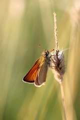 Skipper! (RiverCrouchWalker) Tags: skipper butterfly fenncreek southwoodhamferrers essex grass insect invertebrate july summer 2017