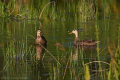Mottled Ducks (Doug Scobel) Tags: mottled duck anas fulvigula green cay wetlands