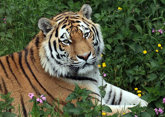 amurtiger taymir Ouwehands JN6A3689 (joankok) Tags: tiger tijger amoertijger amurtiger siberischetijger siberiantiger pantheratigrisaltaica ouwehands kat cat mammal zoogdier dier animal asia azie