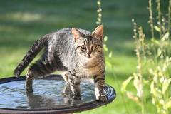 Cat in the birdbath (Shannon_Lund) Tags: shocked cute wet water animal birdbath