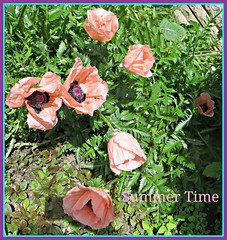 Summer Time (bigbrowneyez) Tags: flowers fiori poppies pinkpoppies summer 1stdayofsummer gorgeous beautiful pretty pink flickrpink prettyinpink delightful montreal delicious bright glowing elegant sunny quebec sunshne dof sweet dolce fabulous striking stunning belle bellissime giardino nature natura summertime estate