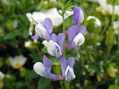 Italy_2017 152 Wild Flowers, Stromboli (Roger Nix's Travel Collection) Tags: aeolianislands aeolian isoleeolie eolie italy