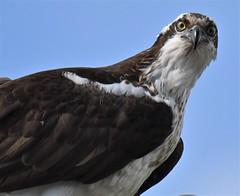 Osprey (larryvenus) Tags: osprey seahawks craterlakenationalpark craterlakebirdsofprey nikon nikond500 nikonphotography ospreynesting ospreyflying klamathfallsosprey klamathfallsbirds tamron tamron150600mmlens