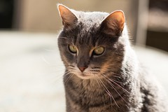 Where are the good old sunny days? (Irina1010_OFF) Tags: cat max pet mammal portrait meditating caturday canon