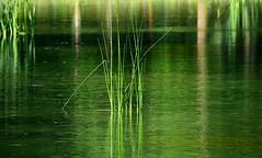 Vert d'eau (Diegojack) Tags: lausanne vaud suisse vert roseaux eau lac sauvabelin reflets