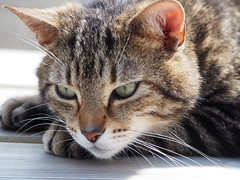 Fervent (Céanndhubahn) Tags: fervent whiskers handsome scotland closeup malecat eyes