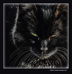 Black cat (El Palmar, València, l'Horta, Spain) (Rafel Ferrandis) Tags: gat negre palmar retrat eos7dmkii sigma150600contemporary