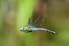 Anax Imperator / Grosse Königslibelle im Flug (Explored) (t_neuber) Tags: libelle anaximperator grosekönigslibelle inflight natur animal insekt