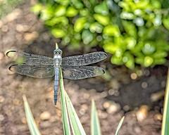 Dragonfly (DASEye, Thank you for the 2 Million Views) Tags: daseye davidadamson nikon virginiabeach virginia va dragonfly insects insect