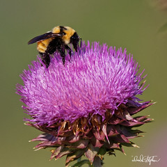 Bumblebee on Thisle (dcstep) Tags: n7a8288dxo1 aurora colorado unitedstates us bee bumblebee thistle pollen cherrycreekstatepark canon5dmkiv ef500mmf4lisii ef20xtciii 1000mm handheld nature urban urbannature allrightsreserved copyright2017davidcstephens dxoopticspro114 ecoregistrationcase15586202651