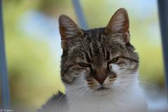 🐱 Minet the CAT 🐱 (Mystycat =^..^=) Tags: chat cat kitty katze gato gatto feline félin animaldecompagnie minetthecat sunrays5 coth5