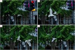 SONY A9 Tracking – I [Explored] (Roy Prasad) Tags: chicago millenniumpark gull seagull bird flight tracking focus 70300mm nikon d3s d4 canon 1dx 1dxm2 a9 sony