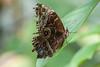 major (Janne Fairy) Tags: butterfly schärfentiefe schmetterling bokeh dof depth field depthoffield nature natur canon eos500d macro makro photography eye auge fühler wing flügel
