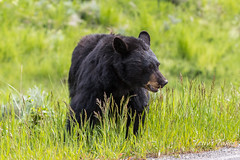 Beautiful Black Bear in the Blacktail Plateau area