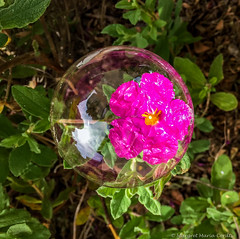Soap bubble encasing a rose flower (Margret Maria Cordts) Tags: pacificgrove california unitedstates us