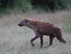 hyena - best viewed full size (alunwilliams155) Tags: crocutacrocuta hyena southluangwa zambia animal