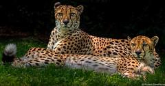 Speedsters (Robert Streithorst) Tags: zoosofnorthamerica bigcatsfeline cheetah cincinnatizoo robertstreithorst cats