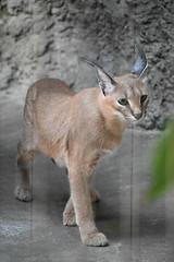 eriezoogrp2DSC_0091 (lwolfartist) Tags: caracal cat feline mammal animal nature photo