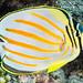 Ornate Butterflyfish - Chaetodon ornatissimus