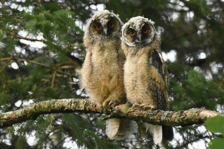 Long-eared Owlet Siblings
