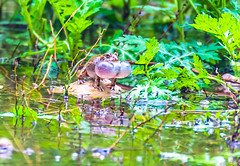 Frog making sounds in green (Mohsan Raza Ali Baloch) Tags: mohsan mohsans trail tracks islamabad pakistan jungle water morning green