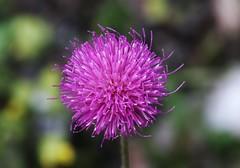 Wildblume (Hugo von Schreck) Tags: hugovonschreck wildflower wildblume macro makro blume blüte canoneos5dsr tamron28300mmf3563divcpzda010 onlythebestofnature