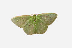 Synchlora sp. (Over 6 million views!) Tags: peru moth idme insect synchlora green