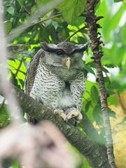 Barred Eagle Owl (ChongBT) Tags: nature wildlife animal bird raptor owl barred eagle malaysia tamantar olympus omd em1 mk2 zuiko micro 300 f4