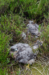 Young Merlins (Tim Melling) Tags: falco columbarius merlin chicks young peak district west yorkshire timmelling