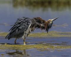 GreenHeron11-3 (lfalterbauer) Tags: greenheron flickr yahoo canon 7dmarkii nature wildlife ornithology wetlandsinstitute avian birdwatcher stoneharbor