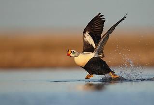King Eider Taking flight