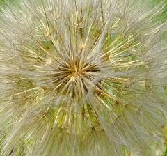 Nature's sparkling gold! (peggyhr) Tags: peggyhr goatsbeardseedhead tragopogondubius alberta canada bluebirdestates niceasitgets~level1 dsc02905ab diamondclassphotographer