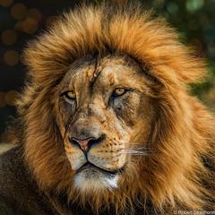 King (Robert Streithorst) Tags: zoosofnorthamerica john cincinnatizoo robertstreithorst feline bigcat lion